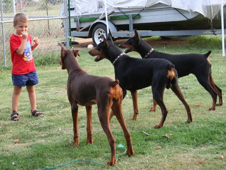 Garrett's Dobermans Puppy Site