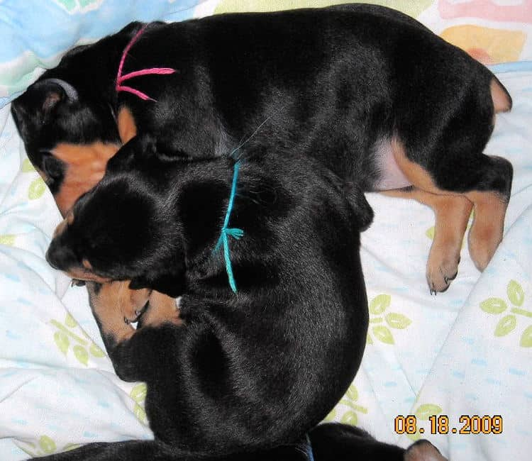 3 week old pics of blues and blacks - dobermann pups