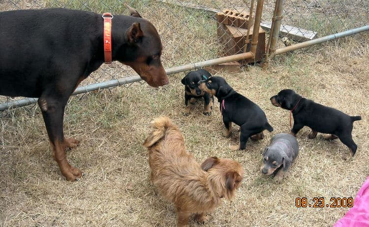 black and rust  and blue and rust dobie puppies 5th week
