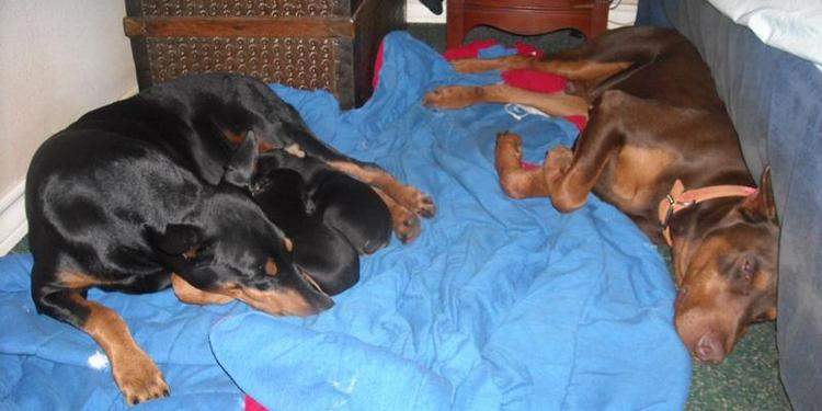 Doberman sire and dam resting with litter of pups