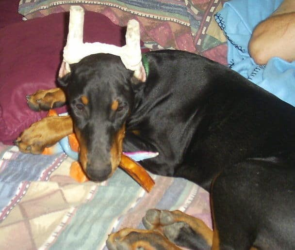 doberman puppie