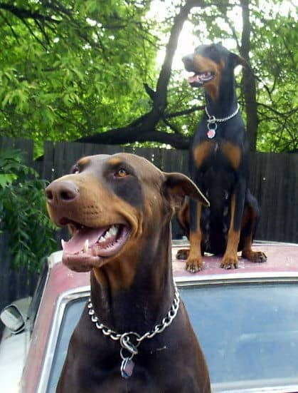 doberman parents