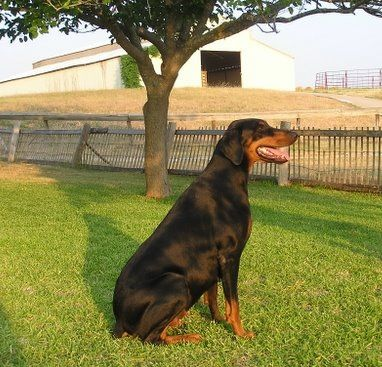 Female Dobe