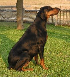 Female Doberman Pinscher