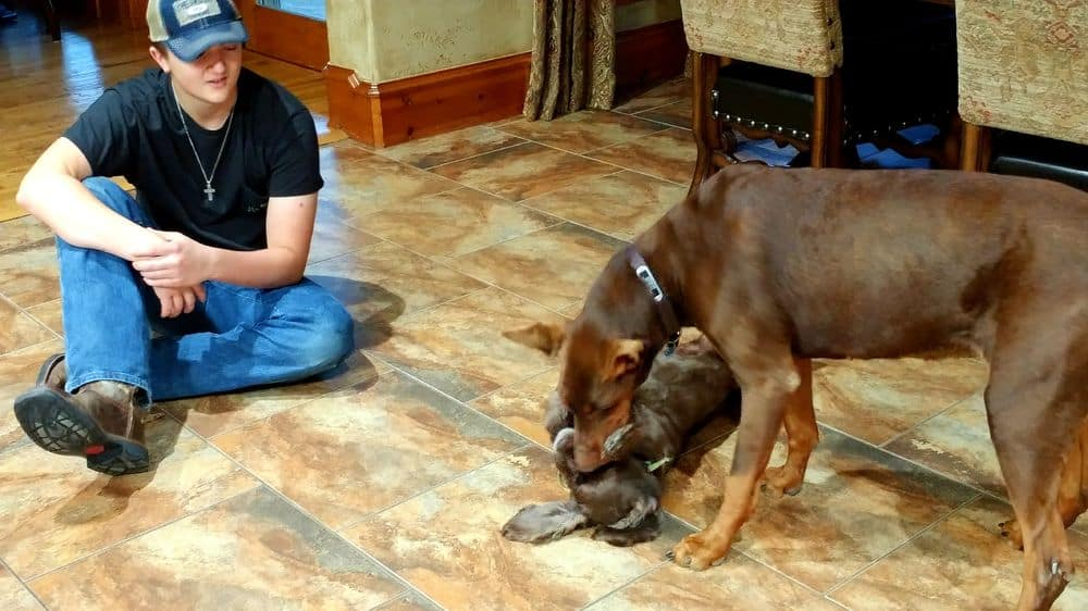 red female doberman and dog play