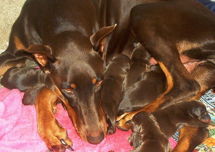 red and rust mother doberman and newborn puppies