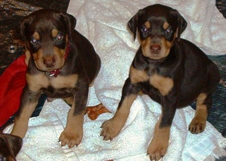 red and rust doberman puppies