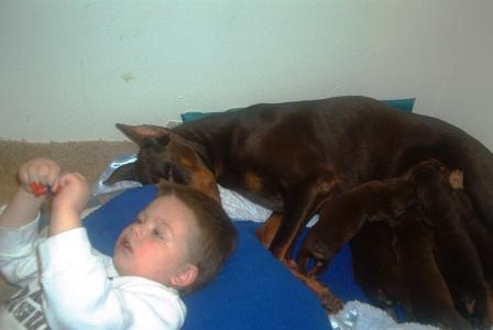 red and rust doberman pups