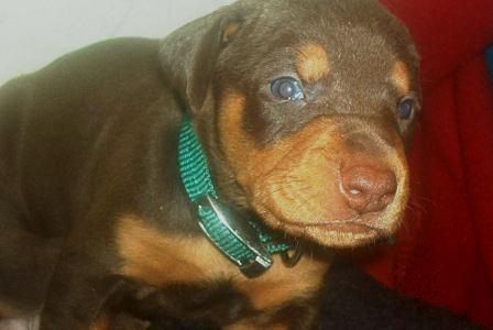 red and rust doberman puppy