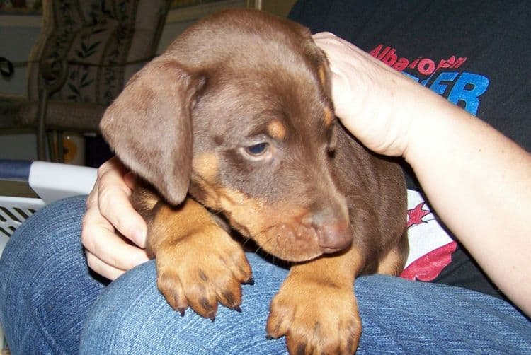 doberman puppy 6 weeks old