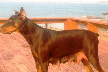 red and rust doberman mother