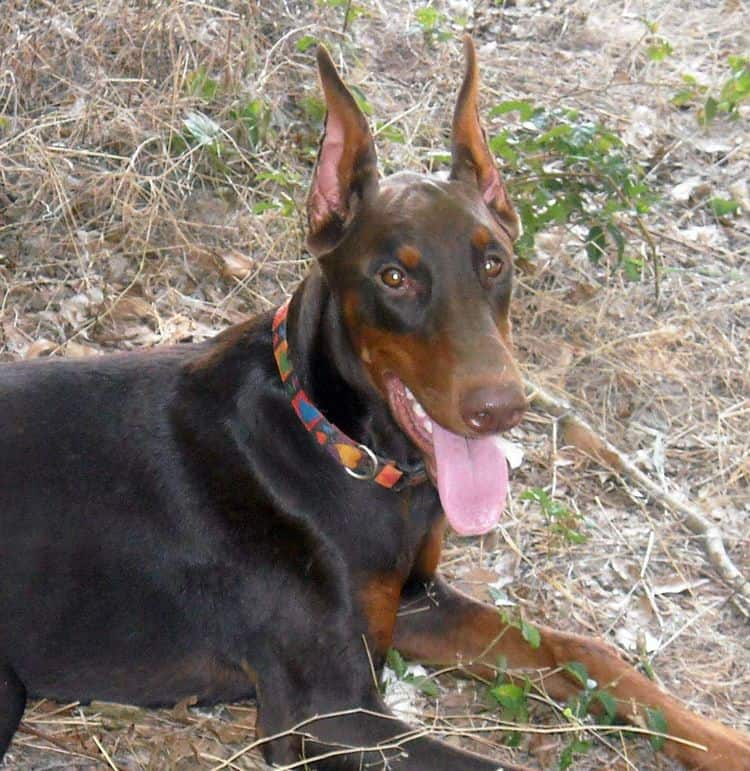 red and rust female doberman
