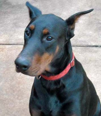 sire black and rust male doberman father