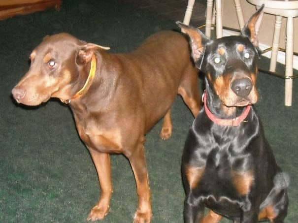 Black and rust male doberman sire with Pyro (red and rust male doberman)