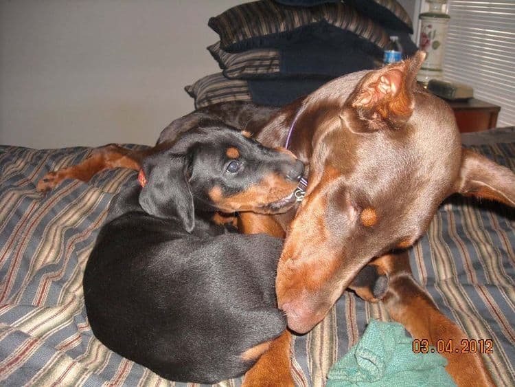 Black and rust male doberman pup, red and rust female doberman