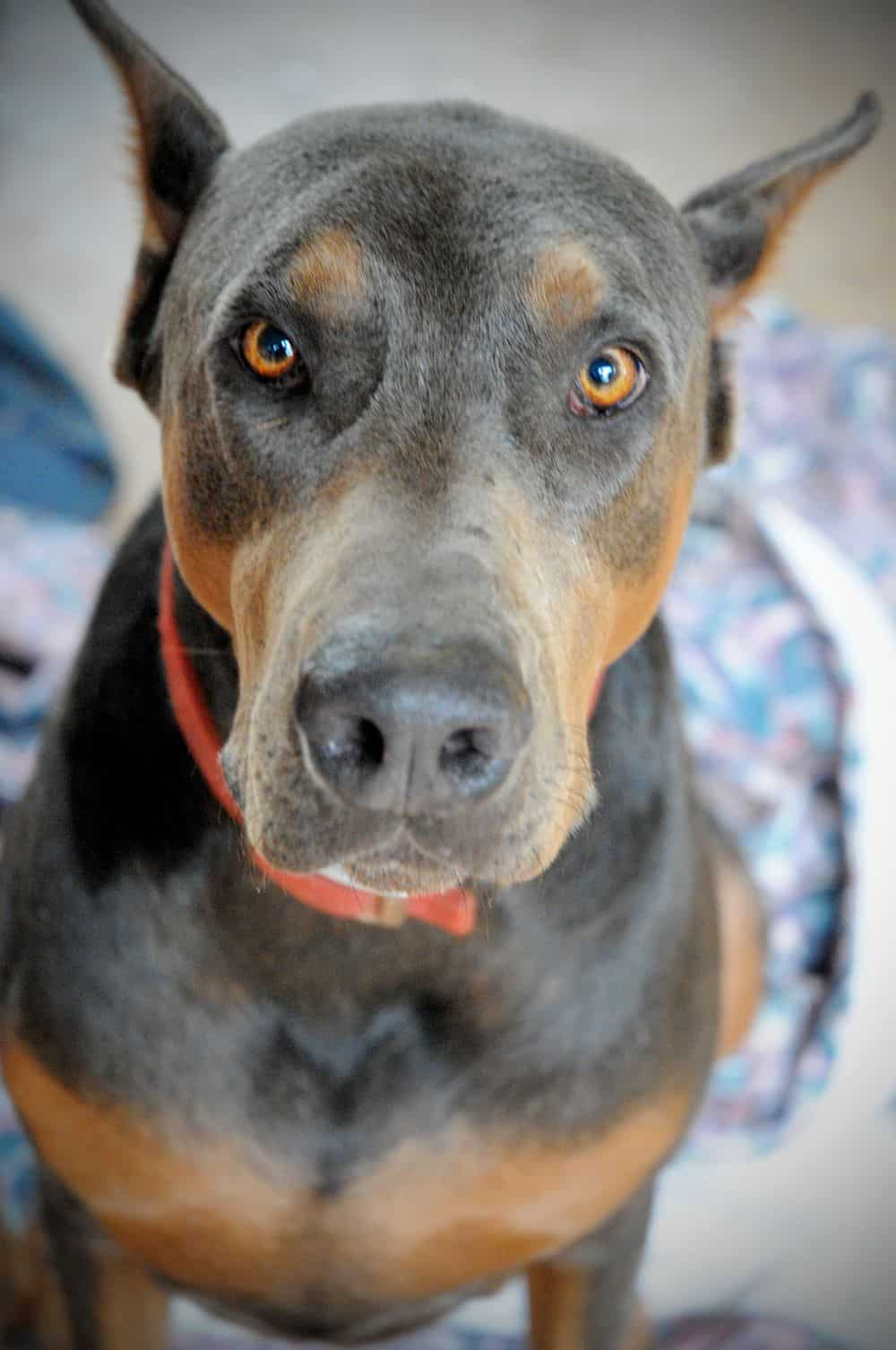 sire blue and rust male doberman father
