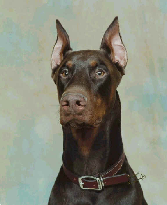 red doberman man