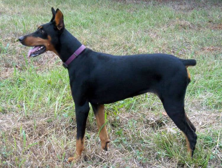 Aires - black rust female breeding doberman; owned by the Watsons