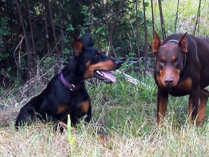 Aires and Pyro - dobermans owned by the Watsons