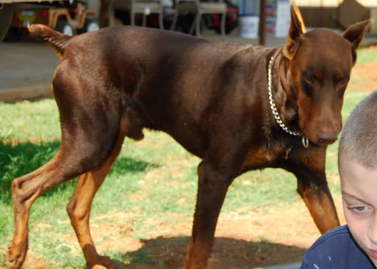 red and rust male doberman sire