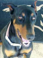 black and rust female doberman dam