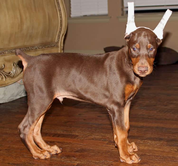 Garrett S Dobermans Puppy Site