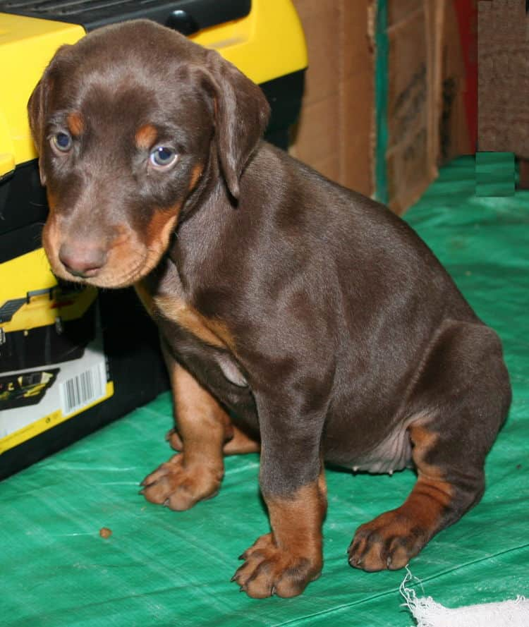 female doberman pup