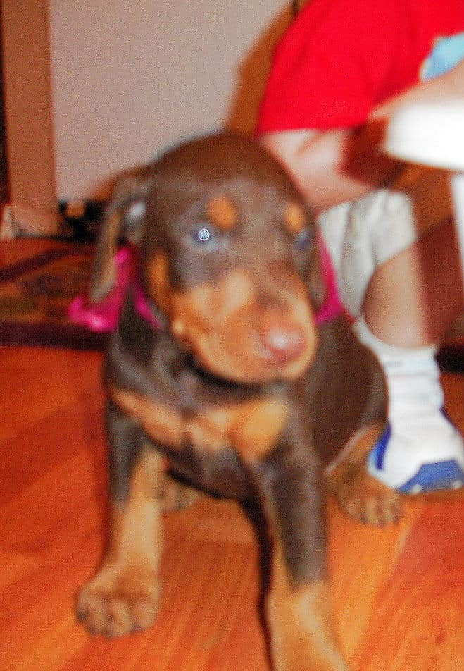 Female Dobe pup
