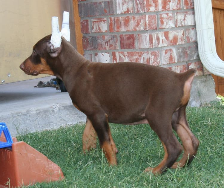 Doberman cropped ears