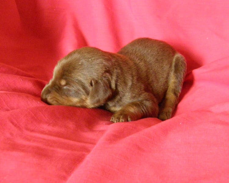 red and rust week old doberman puppy