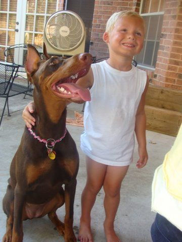 red and rust female doberman with boy