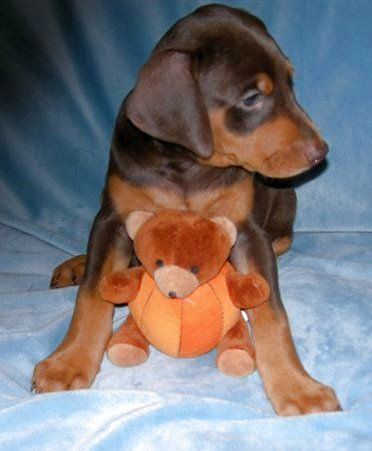 dobe female puppy