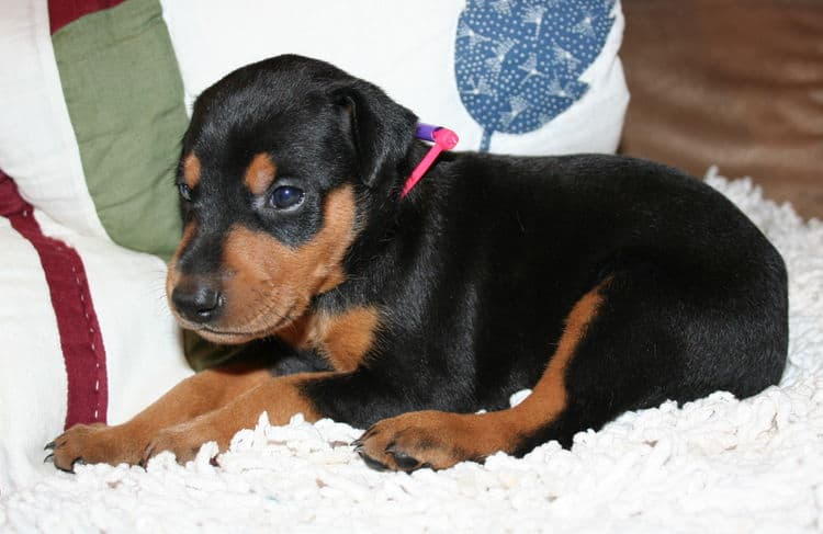 Black Female Doberman Puppy