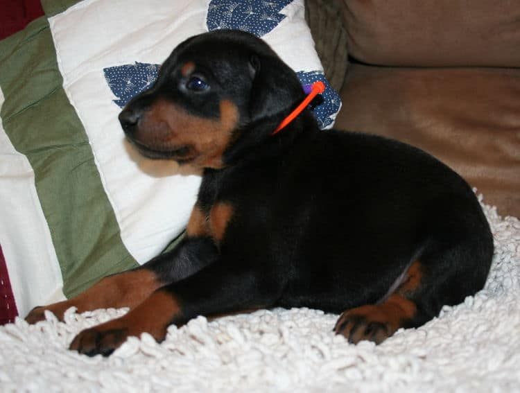 Black Male Doberman Puppy