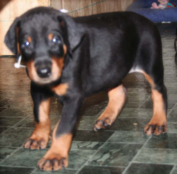 black rust male doberman pup