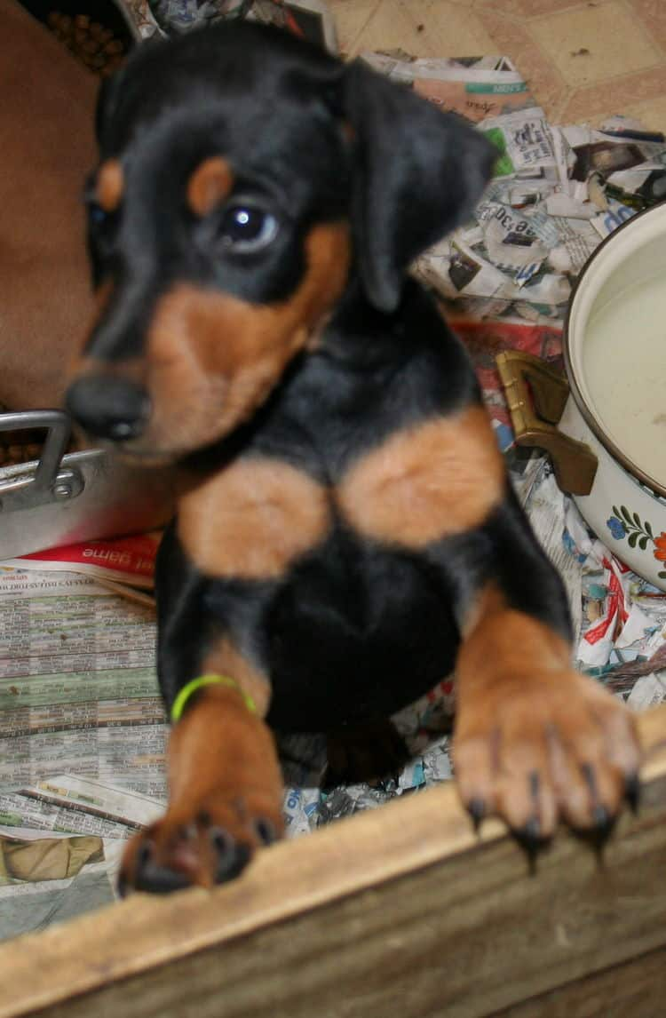 7 week old female doberman puppy