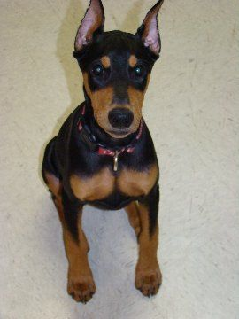 3 month old Doberman Female pup