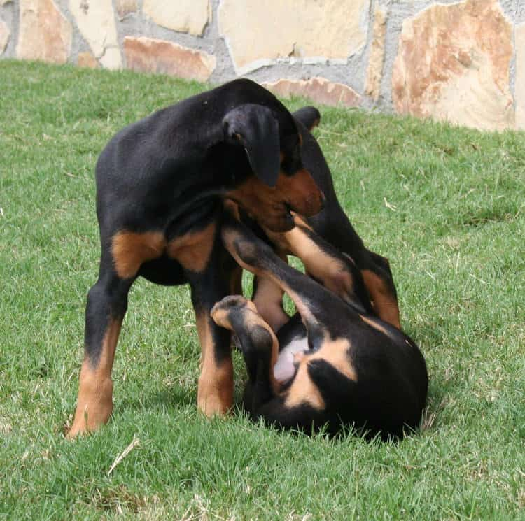 8 week old female dobe puppy