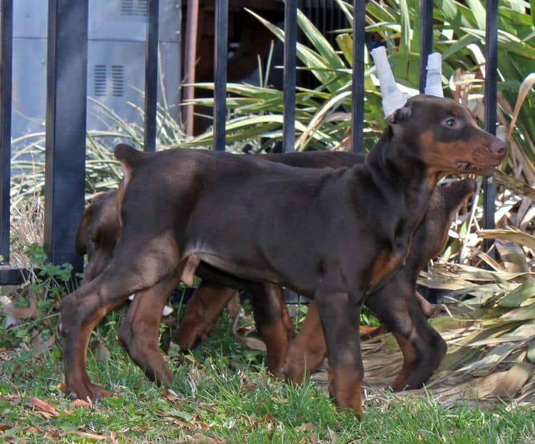 10 week old cropped red and rust female doberman pup; champion sired
