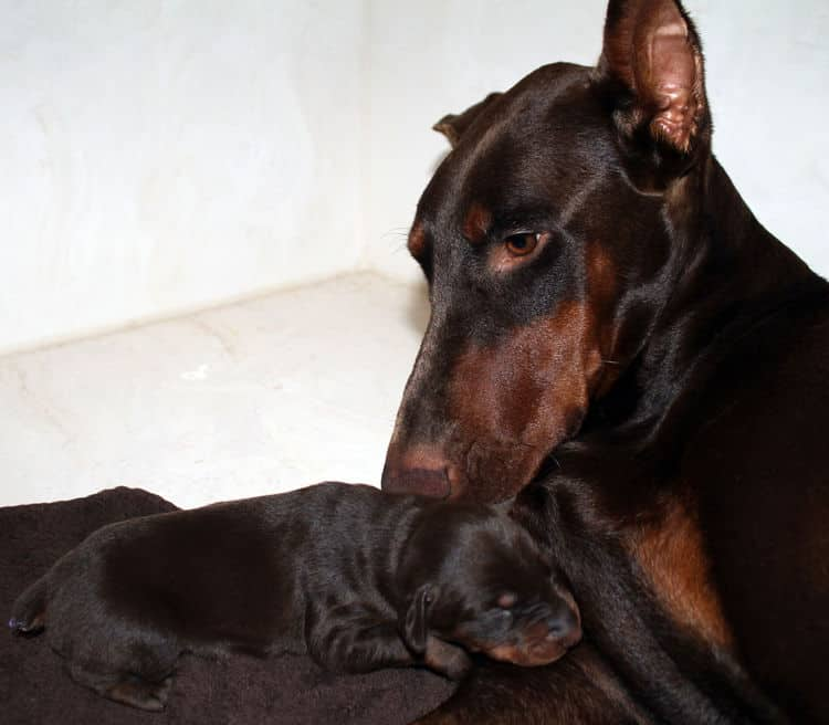 red rust female doberman puppies - blacks and reds, males and females