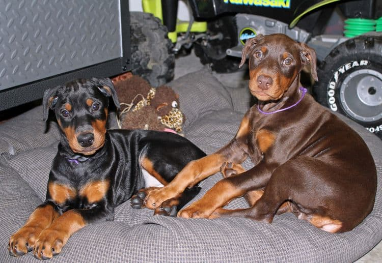 8 week old cropped female doberman pups; champion sired