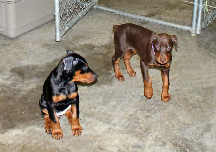 cropped red and rust female dobie pup; champion sired