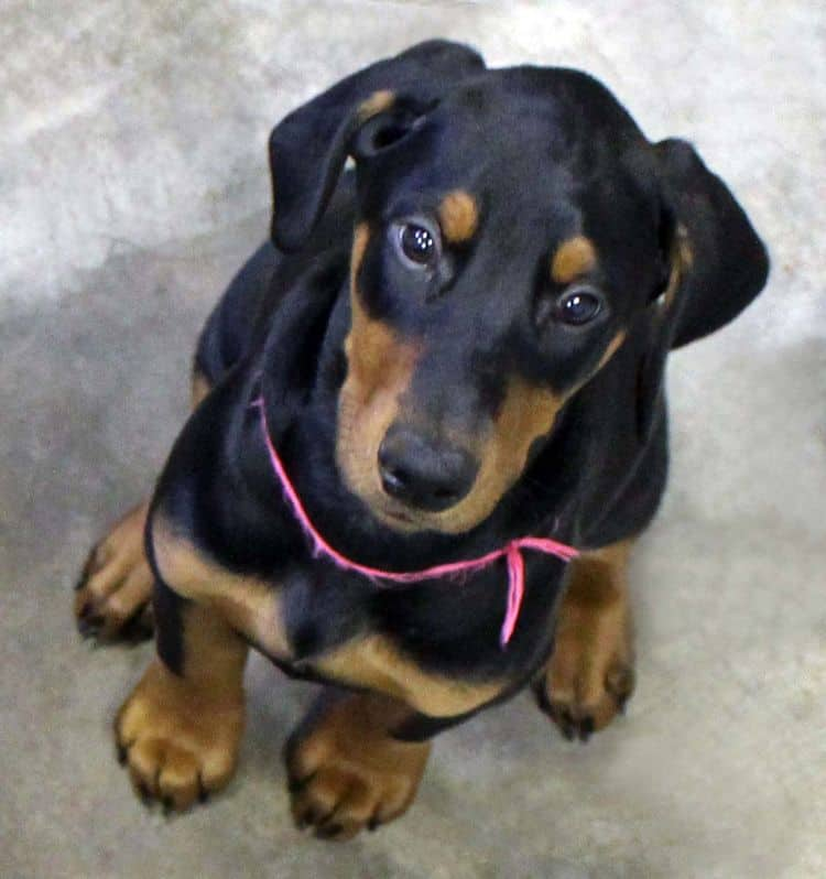 black and rust female doberman puppy; champion sired
