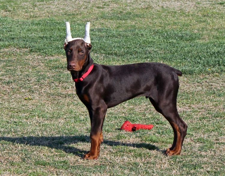 red and rust male doberman pup with ears cropped; champion sired