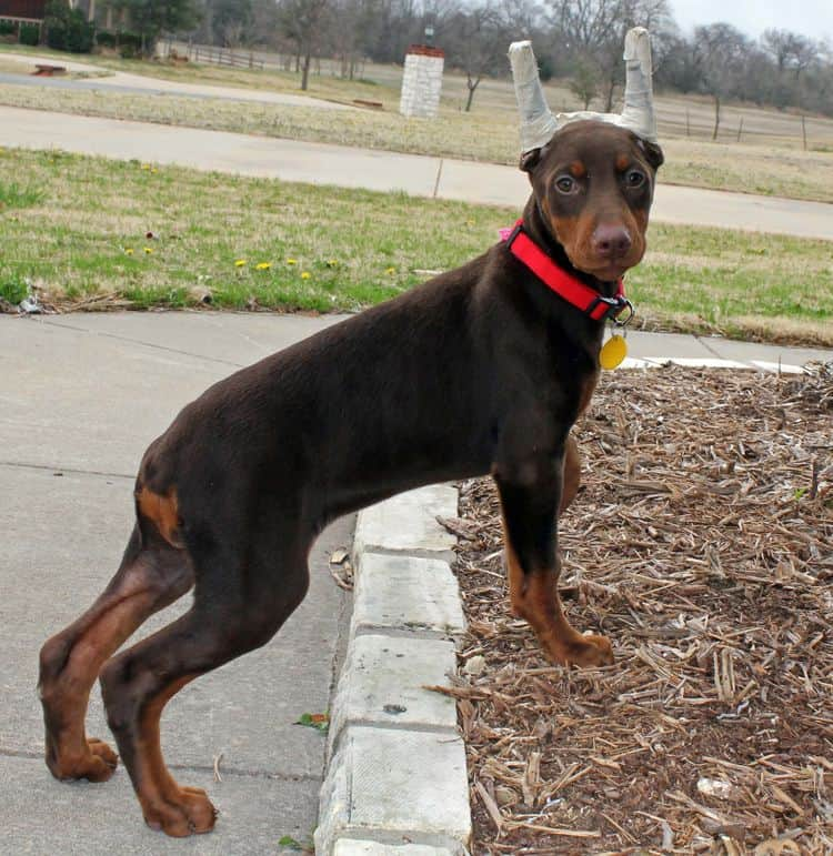 red and rust female doberman puppy ready to go home