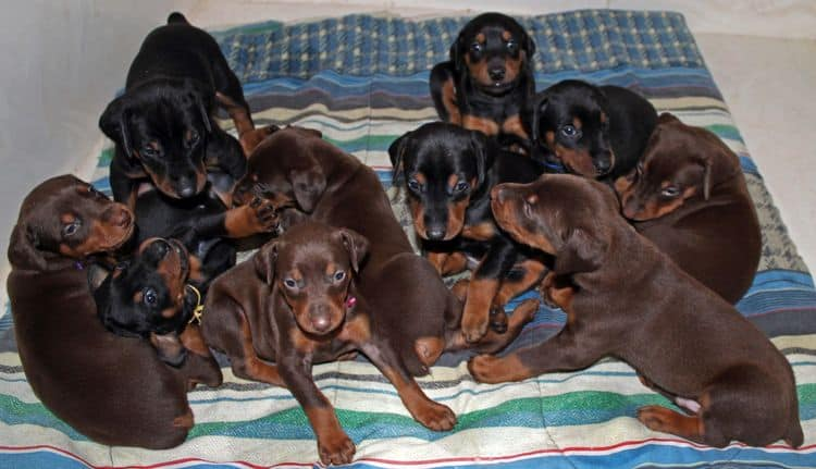 4 week old red and rust female doberman pup with siblings; champion sired