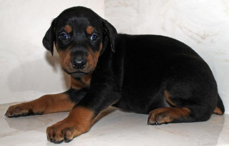 4 week old black and rust female doberman pup; champion sired