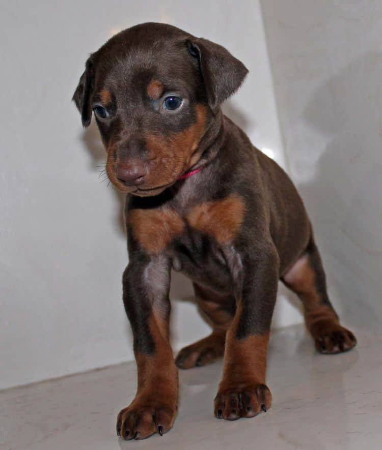 4 week old red and rust female doberman pup; champion sired