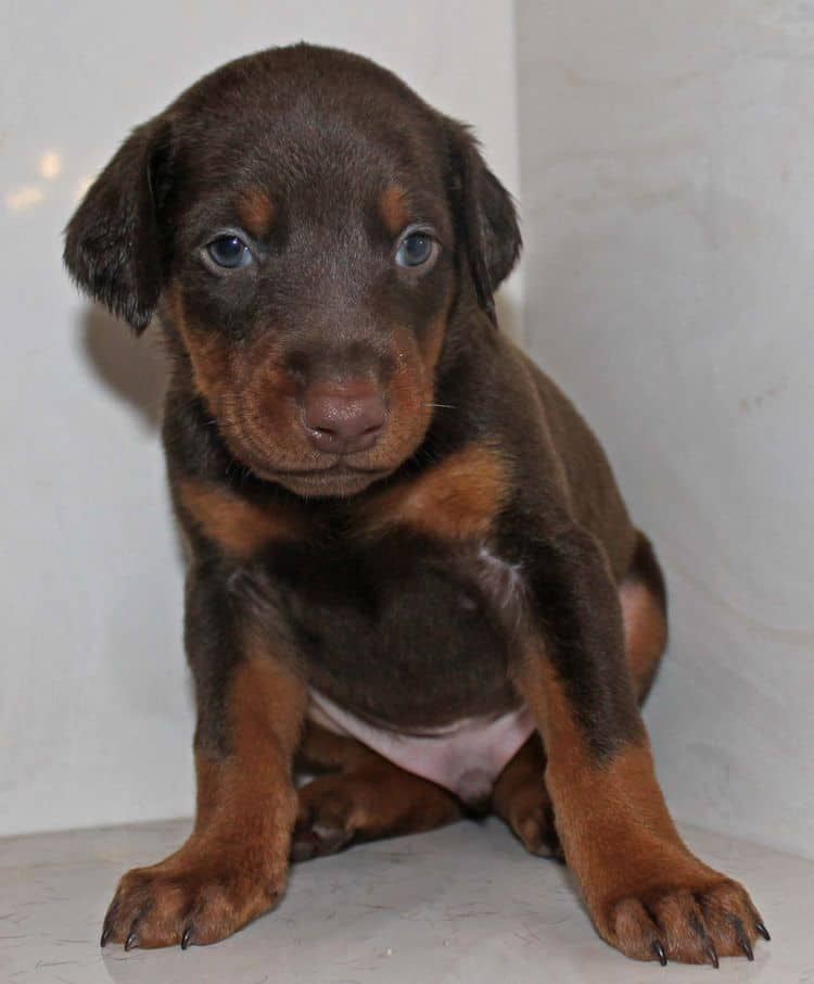 4 week old red and rust male doberman pup; champion sired