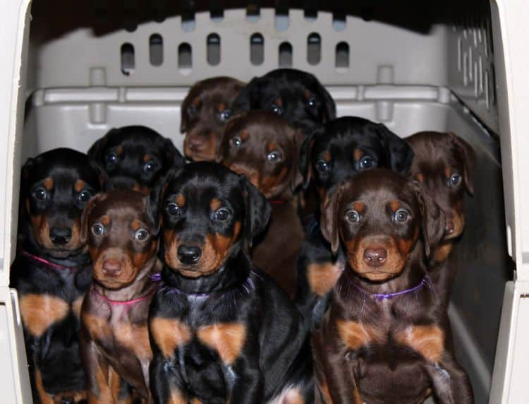 Pups from Sable's first litter; champion sired